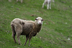Sheep. An adult sheep stands in the field Royalty Free Stock Photo