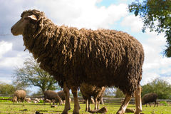 Sheep. On grass with blue sky, some looking at the camera Stock Photography