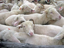 Sheep. Flock of sheep in a stockyard Royalty Free Stock Image