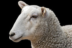 Sheep. Portrait of a sheep on a black background Royalty Free Stock Photos