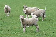 Sheep. A flock of sheep Royalty Free Stock Image