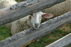 Sheep. Looking through fence Royalty Free Stock Photos