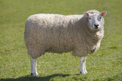 Sheep. Woolly sheep on green grass Stock Photos