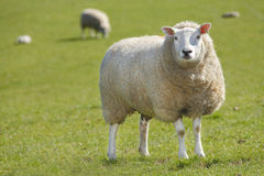 Sheep. In farmers field with  background royalty free stock photography