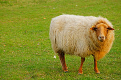 Sheep. With a brown head Stock Image