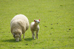 Sheep. And lamb in field Stock Photography