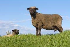 Sheep Royalty Free Stock Photography