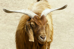 Sheep. With big ear and large horn Royalty Free Stock Photo