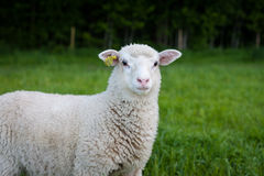Sheep. A lonely sheep looking into the camera Royalty Free Stock Photos