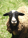Sheep. Looking at camera with green gass background Royalty Free Stock Images