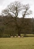 Sheep. Speep in a meadow, England Royalty Free Stock Photos