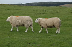 Sheep. Two sheep in a field in Rochester, UK royalty free stock images