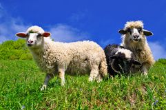 Sheep. In a rural landscape royalty free stock photography
