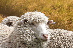Sheep. Two Australian sheep against golden grass Stock Photography