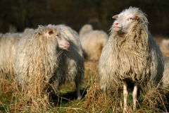 Sheep. Two sheep on a farm stock photography
