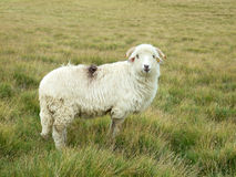 Sheep Stock Photos