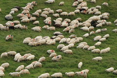 Sheep. In grass in the mountain Royalty Free Stock Photos