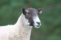Sheep Stock Photography