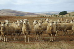 Australian sheep flock Stock Image