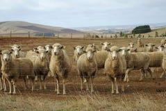 Australian sheep flock Stock Image