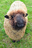 Sheep. A vertical picture of a Romney ewe sheep looking up at the camera with a smiling expression on her face royalty free stock images
