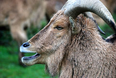 Sheep. A bighorn sheep standing in the grass with the herd royalty free stock photography