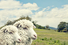 Sheep. On scenic Tasmanian farmland in southern Tasmania royalty free stock photo