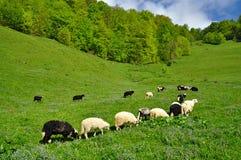Sheep. Stock Image