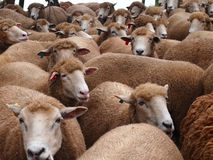 Sheep. A lot of sheep in farm Royalty Free Stock Photos