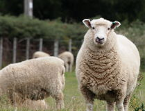 Sheep. The symbol of New Zeland, enjoying one of the country's green fields Stock Image