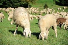 Sheep. An image of sheep feeding on green pasture stock photography