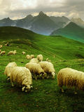 Sheep. Col d'aubisque pyrenees france Royalty Free Stock Images