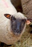 Sheep Stock Photography