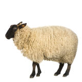 Sheep. In front of a white background Stock Photos