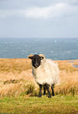 Sheep. White sheep grazing on the picturesque landscape in Ireland Stock Photography
