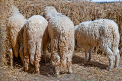 Sheep. Royalty Free Stock Images