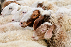 Sheep. Flock of Sheep, close-up. Farm animals Royalty Free Stock Images