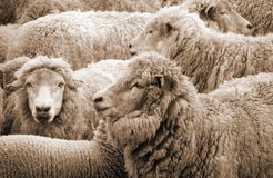 Sheep. Waiting for  shearing Royalty Free Stock Images
