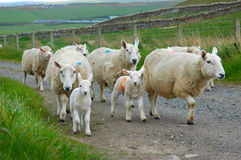Sheep. Lambs aged 7 days, and their mothers being moved to another field going past my house Stock Photography