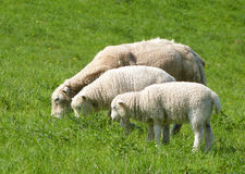 Sheep. Three sheep grazing in spring - mother and two lambs Royalty Free Stock Image