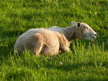 Sheep. Mother relaxing at grass in spring Royalty Free Stock Image