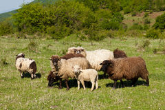 Sheep. Grazing in green meadow Stock Photos