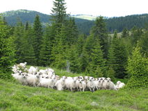 Sheep. Agriculture up to the alpine area Stock Image