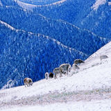 Sheep. In the mountains china Royalty Free Stock Photography