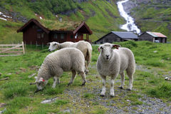Sheep. Typical Farm with Sheep in Norway royalty free stock photos