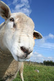 Sheep. A curious sheep. Shallow DOf with focus on left eye Stock Photo
