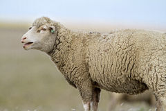 Sheep. Bleating sheep in a field of cereal Stock Image