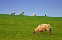 Sheep. On a hillside on a sunny morning royalty free stock photo