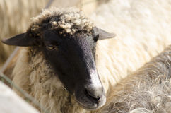 Sheep. A sheep from one of the farms around Bucharest, Romania Stock Photos