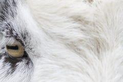Sheep. Eye of a sheep, Netherlands Stock Photography